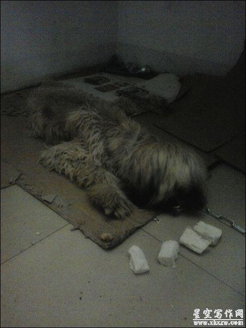 阿富汗猎犬到我家