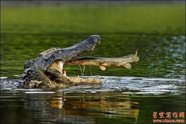 鳄鱼法则:关键时刻的取舍之道
